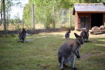 réserve beaumarchais wallabies